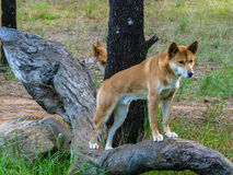 Dingo. On the alert on a branch, Northern Territory, Australia Royalty Free Stock Photography