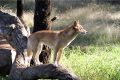 Dingo, Aust.native Hund Lizenzfreie Stockfotos