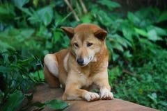 Dingo. In Australia Royalty Free Stock Photography