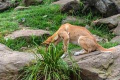 Dingo. Australian dingo - dog wild animal in Australia Royalty Free Stock Image