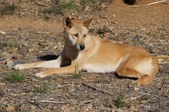 A Dingo in Australia stock photography