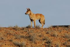 Dingo in Australian Outback. A dingo in the wild, outback Australia stock photography