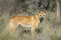 Dingo Royalty Free Stock Image
