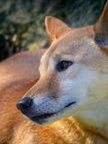 Dingo australiano Immagini Stock Libere da Diritti