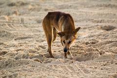 Dingo australiano Fotografie Stock