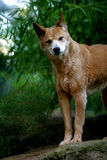 Dingo australiano Immagine Stock