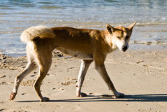 Dingo australiano Imagem de Stock Royalty Free