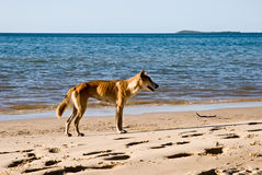 Dingo australiano Foto de Stock Royalty Free