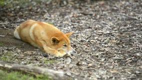 Dingo australiano almacen de metraje de vídeo