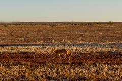 Dingo australiano che cerca una preda in mezzo all'entroterra in Australia centrale Il dingo sta guardando verso la sinistra, immagini stock