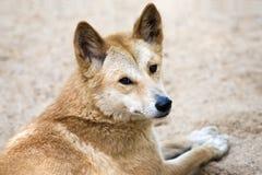 Dingo australiano che esamina spalla Immagine Stock