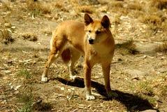 Dingo australiano (dingo di lupus di canis) Immagine Stock