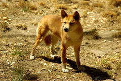 Dingo australiano (dingo do lúpus de canis) Imagem de Stock
