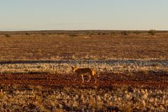 Dingo australiano que busca una presa en el medio del interior en Australia central El dingo está mirando hacia la izquierda, imagenes de archivo