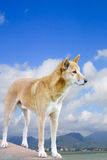 Dingo with Cairns city in the background Royalty Free Stock Images
