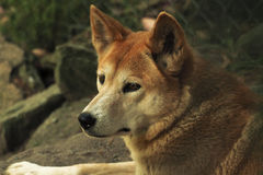 Dingo (Canis lupus dingo), Closeup Royalty Free Stock Photos