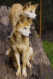 Dingo (Canis lupus dingo) Stock Photos