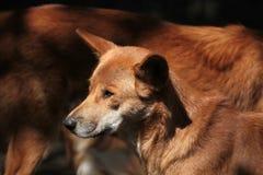 Dingo (Canis lupus dingo). Royalty Free Stock Image