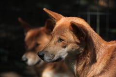 Dingo (Canis lupus dingo). Stock Photo