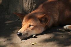 Dingo (Canis lupus dingo). Stock Image