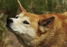 Dingo (Canis lupus dingo), zbliżenie Zdjęcia Stock
