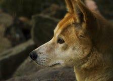 Dingo (Canis lupus dingo), zbliżenie zdjęcia royalty free
