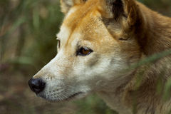 Dingo (Canis lupus dingo), zbliżenie obraz royalty free
