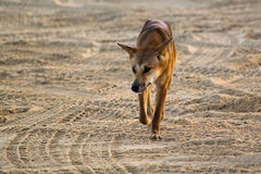 Dingo. (Canis lupus ), roaming across sand Stock Photos