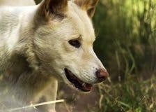Dingo (Canis-wolfszweerdingo), Close-up Royalty-vrije Stock Fotografie