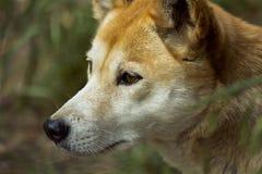Dingo (Canis-wolfszweerdingo), Close-up Royalty-vrije Stock Afbeelding