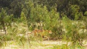Dingo che cammina nella regione selvaggia immagini stock
