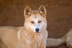 Dingo Stock Images