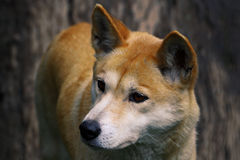 Dingo closeup Stock Photos