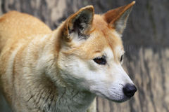 Dingo closeup Royalty Free Stock Image