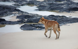 Dingo d'île de Fraser sur la plage Photos stock