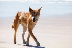 Dingo dans l'Australie d'île de fraser Photos stock