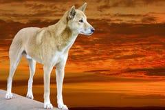 Dingo dans le coucher du soleil Images stock