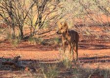 Dingo del cane selvaggio nella natura selvaggia fotografia stock