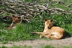 Dingo die op gras ligt Royalty-vrije Stock Fotografie
