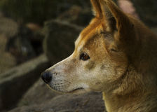 Dingo (dingo Λύκου Canis), κινηματογράφηση σε πρώτο πλάνο Στοκ φωτογραφίες με δικαίωμα ελεύθερης χρήσης