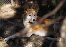 Dingo (dingo Λύκου Canis) Στοκ φωτογραφία με δικαίωμα ελεύθερης χρήσης