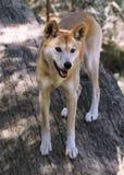 Dingo (dingo de lupus de Canis) Photos stock