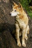 Dingo (dingo de lupus de Canis) Photos libres de droits