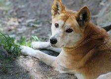Dingo (dingo för Canislupus) royaltyfria bilder
