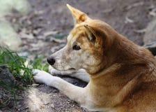 Dingo (dingo för Canislupus) Arkivfoton
