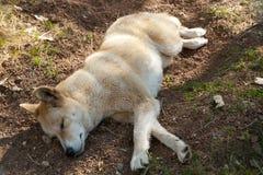 Dingo Dog Stock Photo