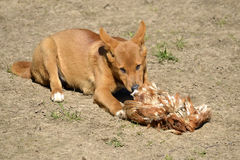 Dingo eating fowl. Young dingo (Canis lupus dingo) lying on ground and eating a fowl Royalty Free Stock Image