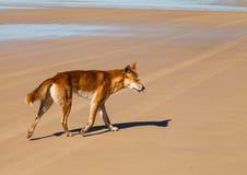 Dingo em Austrália fotografia de stock