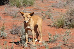 Dingo Stock Photos