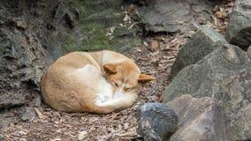 Dingo, Featherdale Wildlife Park, NSW, Australia. DOONSIDE, NSW/AUSTRALIA - NOV 2, 2015: Dingo (Canis lupus dingo) sleeping at Featherdale Wildlife Park, New Royalty Free Stock Photos